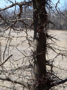 Thorny locust