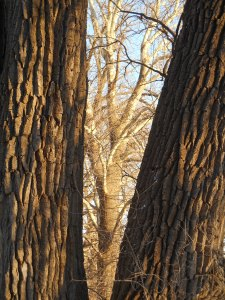 Sunlit sycamore framed by Grandmother Cottonwood