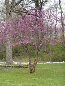 Red Bud in bloom