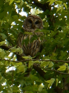 GCW's neighbor, Barred owl