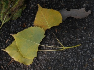 Golden cottonwood leaves