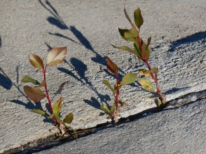 Tiny seedlings and concrete